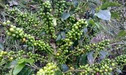 Зелёный кофе: миф или реальность?