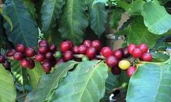 Экстракт зелёного кофе. Вред для здоровья