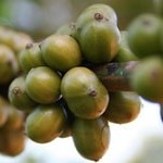 Содержание кофеина в зелёном кофе