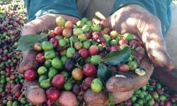 Условия для выращивания кофе