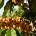 Сорт Бурбон (Bourbon) является спонтанной мутацией сорта Типика, обнаруженной впервые в Эфиопии. Оттуда сорт был завезен на принадлежащий Франции острове