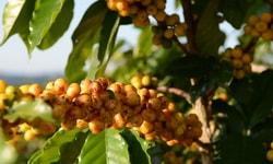 Сорт кофе. Кофе Бурбон - Bourbon