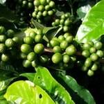 Кофейное дерево. Сорта. Листья