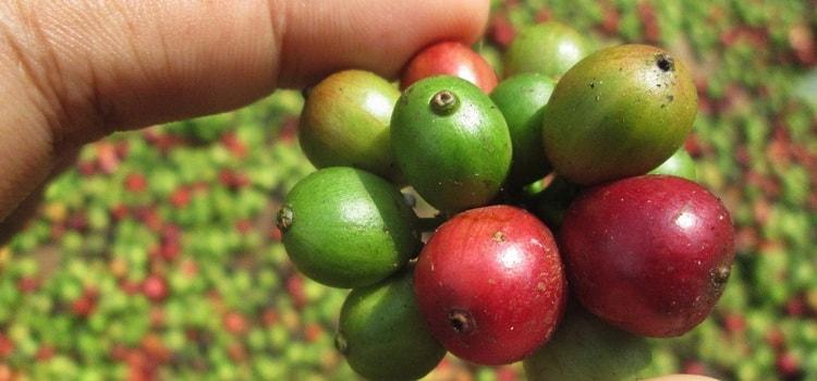 Технология производства кофе