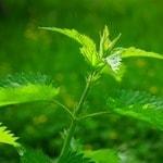 Чай из листьев крапивы: Польза и вред для здоровья