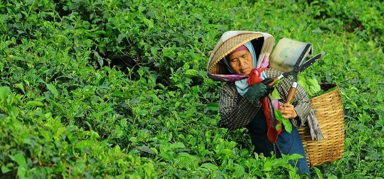 Японский чай. Виды японского чая