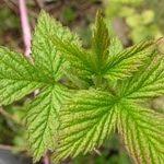 Чай из листьев малины, польза, вред, побочные эффекты и противопоказания...