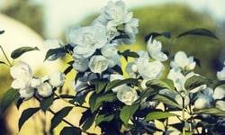 Зелёный, жасминовый чай, польза и способ приготовления